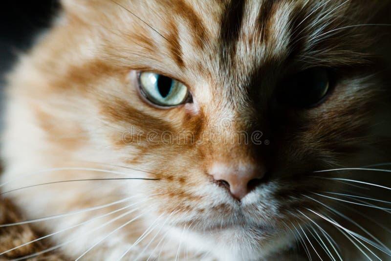 Retrato de un gato rojo imágenes de archivo libres de regalías