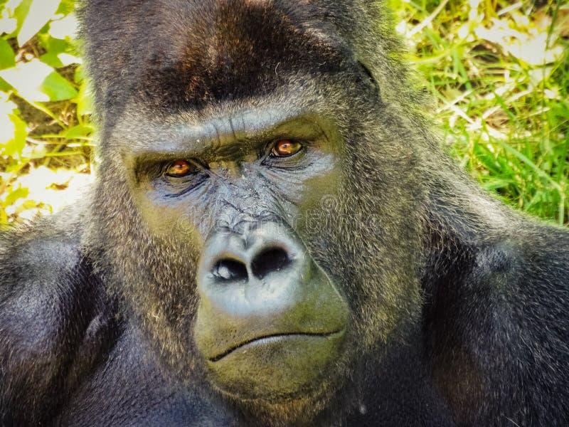Retrato de un gorila fotografía de archivo