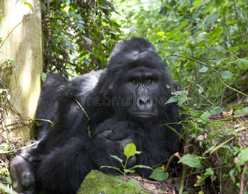 Retrato de un gorila de montaña uganda Bwindi Forest National Park impenetrable foto de archivo