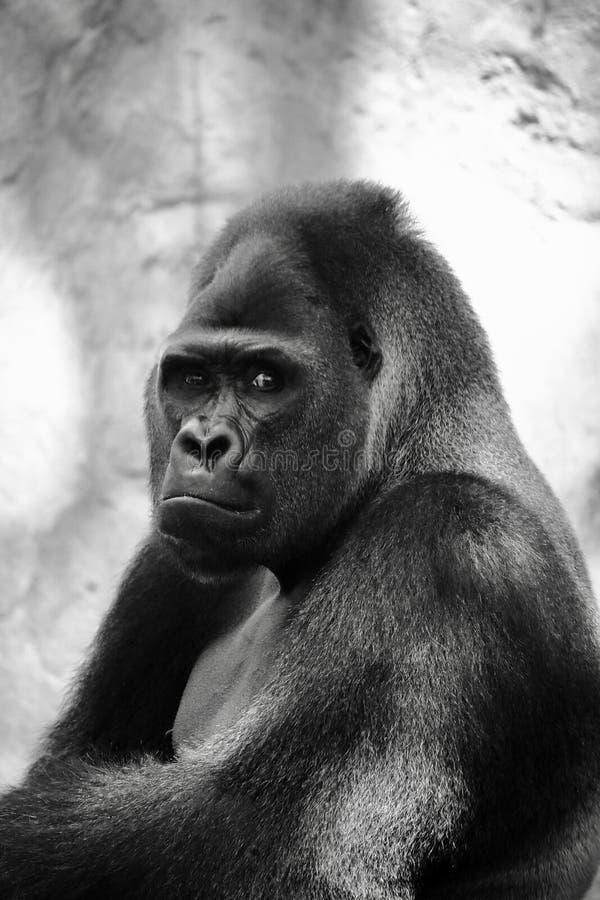 Retrato de un gorila enorme del silverback Este primate asombroso puede ser encontrado solamente en Rwanda y Uganda, reservas de  fotografía de archivo