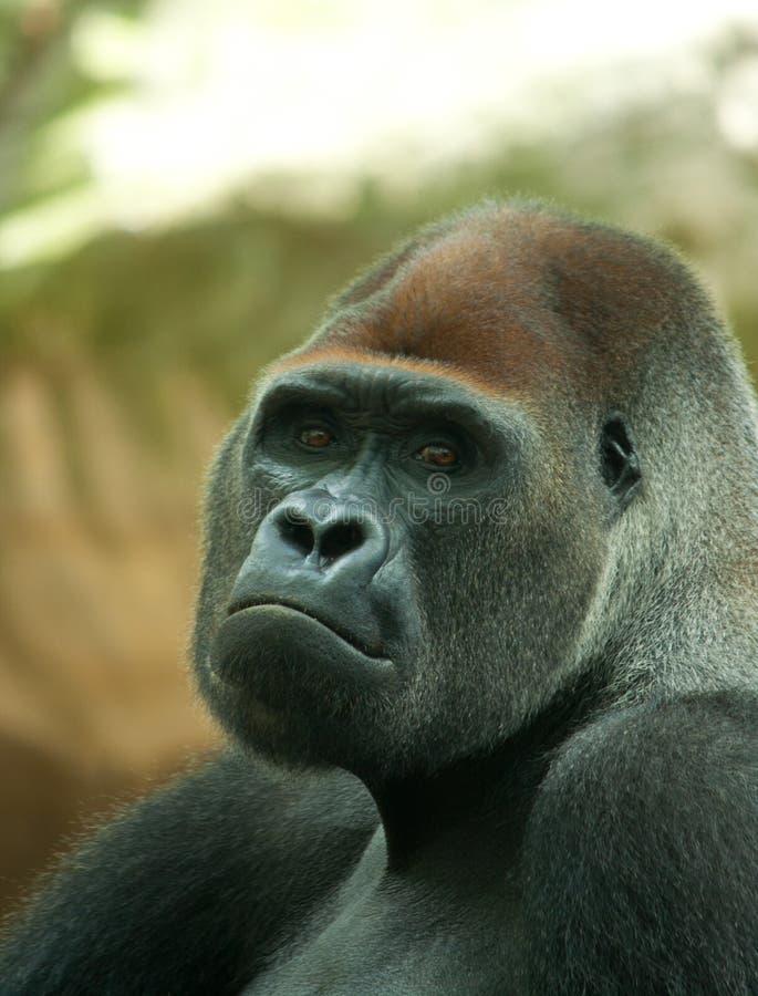 Retrato de un gorila masculino del silverback imágenes de archivo libres de regalías