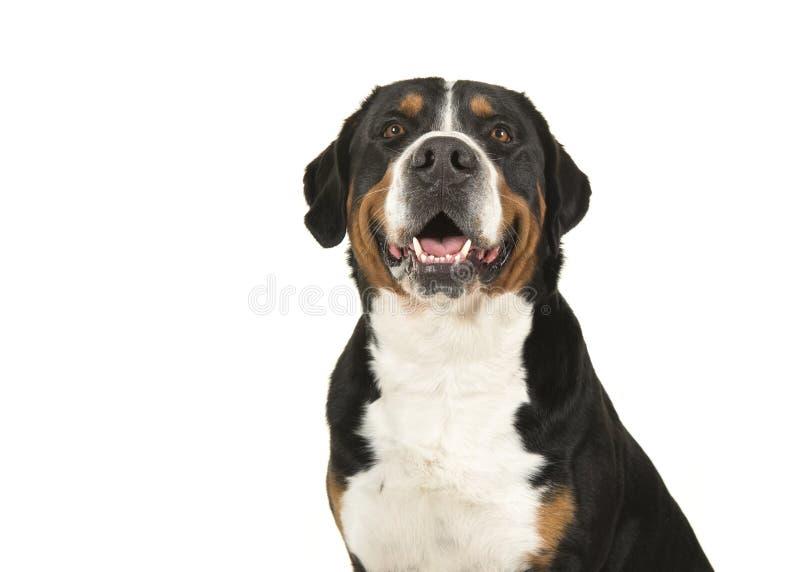 Retrato de un gran perro suizo de la montaña en un retrete blanco del fondo imágenes de archivo libres de regalías