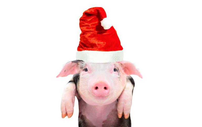 Retrato de un guarro lindo en un casquillo del ` s del Año Nuevo imagen de archivo libre de regalías