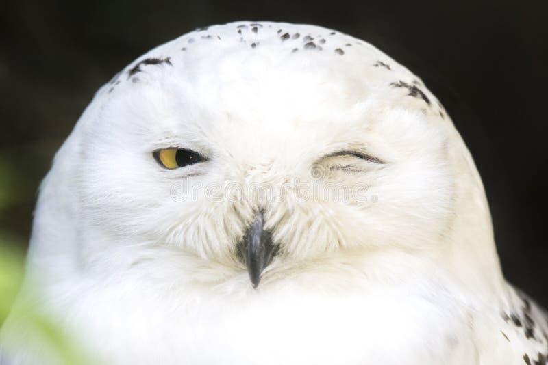 Retrato de un guiño nevoso del búho foto de archivo