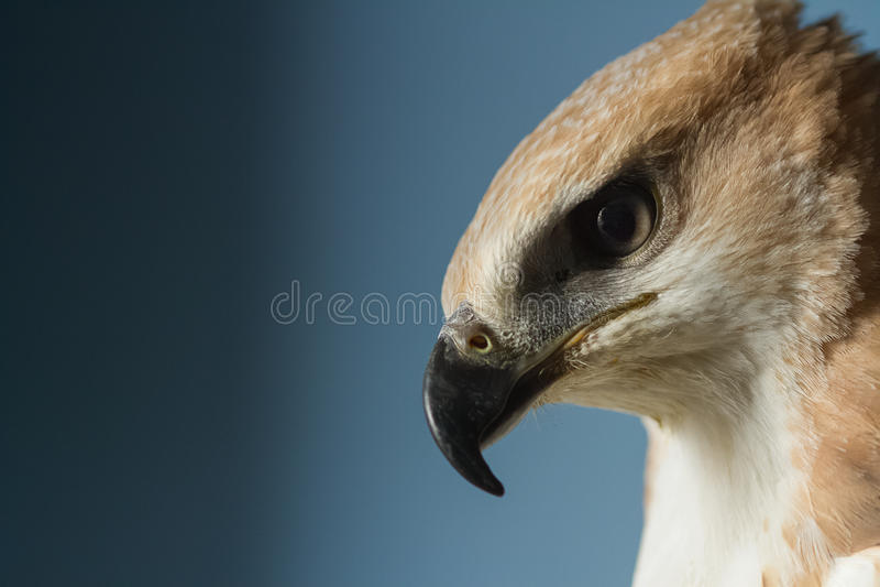 Retrato de un halcón hermoso fotografía de archivo libre de regalías