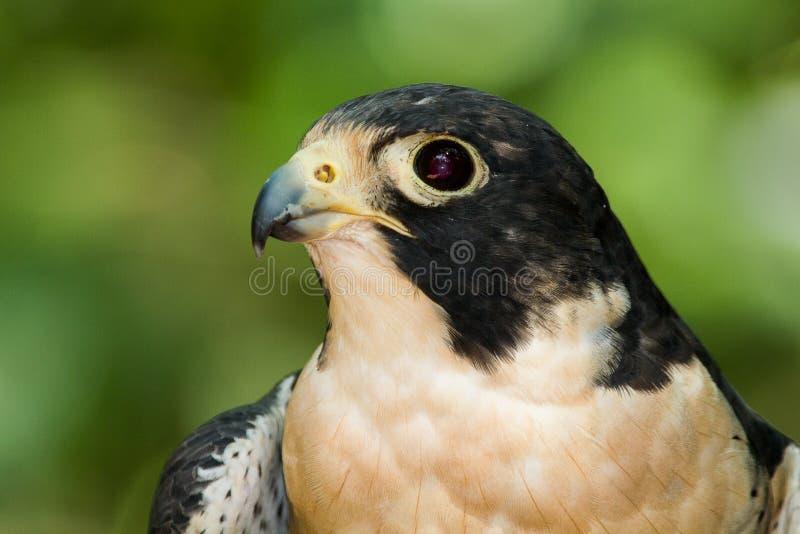 Retrato de un halcón de peregrino imágenes de archivo libres de regalías