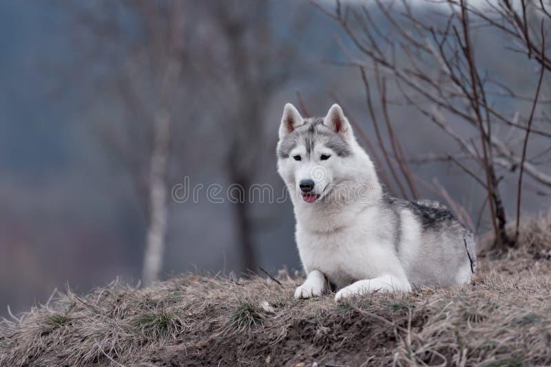 Retrato de un husky siberiano del perro del primer fotografía de archivo libre de regalías