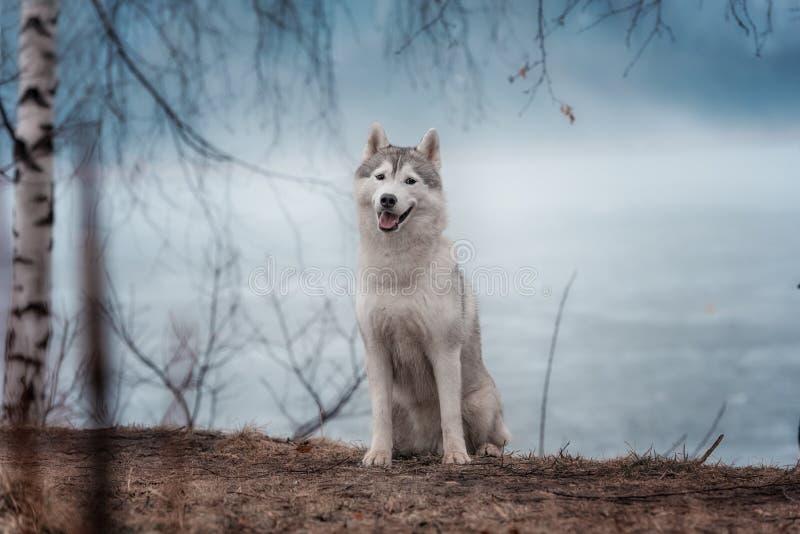 Retrato de un husky siberiano del perro del primer foto de archivo