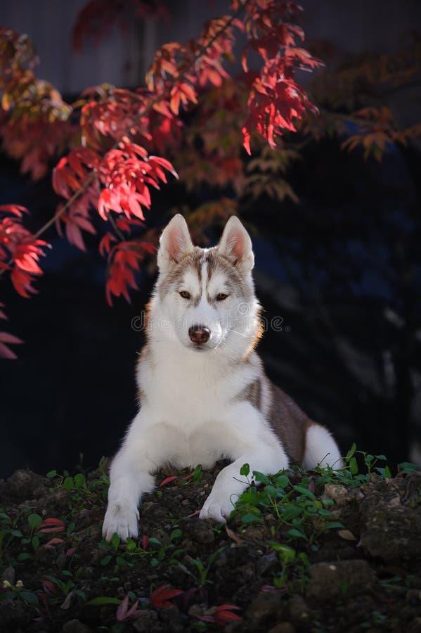 Retrato de un husky siberiano rojo fotografía de archivo