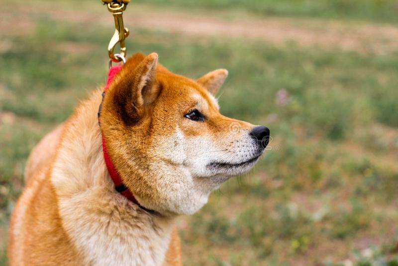 Retrato de un inu japonés excelente de Shiba del perro imágenes de archivo libres de regalías