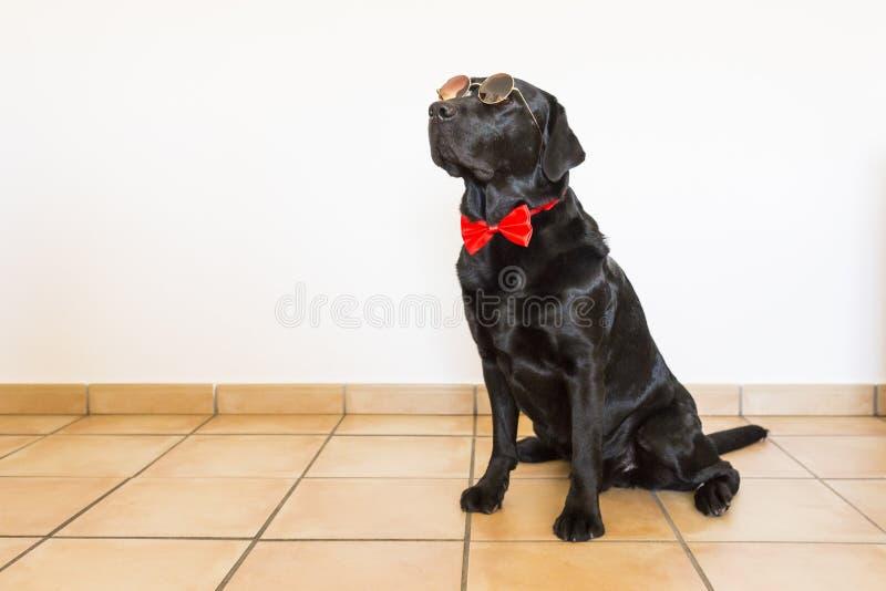Retrato de un Labrador negro joven hermoso que lleva un bowti rojo imágenes de archivo libres de regalías