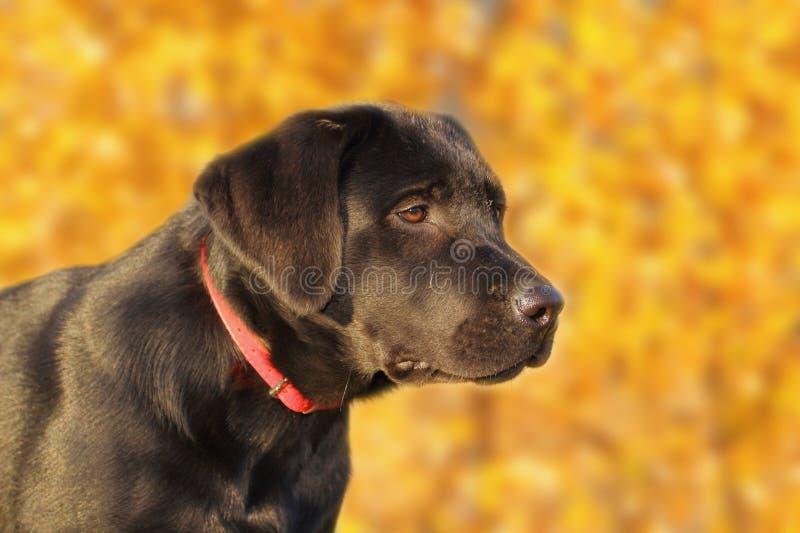 Retrato de un Labrador joven fotos de archivo libres de regalías