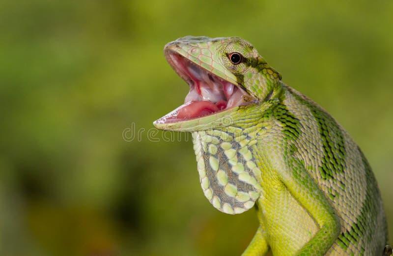 Retrato de un lagarto del toldo con la boca abierta fotografía de archivo