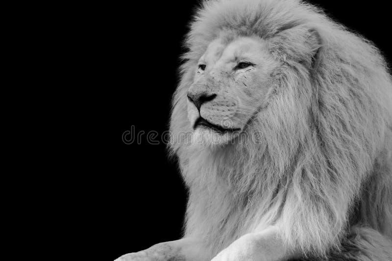 Retrato de un león fotografía de archivo