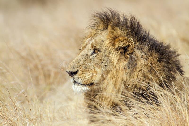 Retrato de un león en el parque nacional de Kruger, Suráfrica imagen de archivo