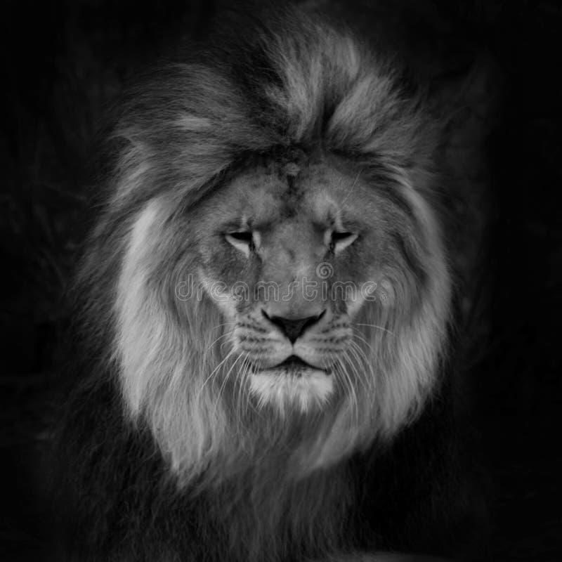 Retrato de un león masculino magnífico contra fondo negro imagenes de archivo