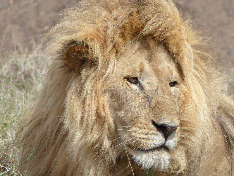 Retrato de un león salvaje imágenes de archivo libres de regalías