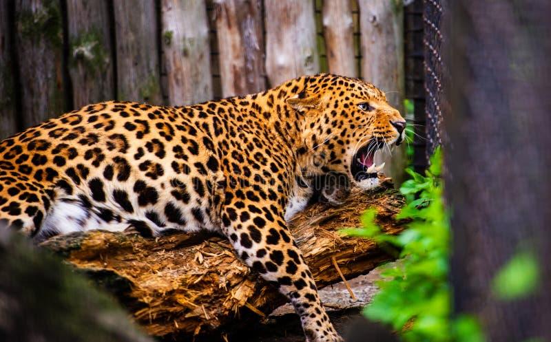 Retrato de un leopardo hermoso imagen de archivo