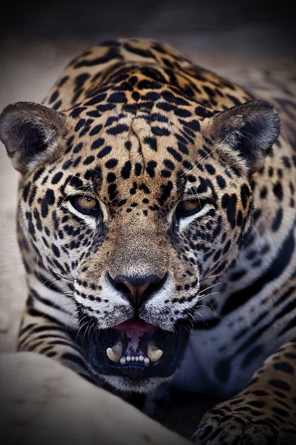 Retrato de un leopardo fotografía de archivo