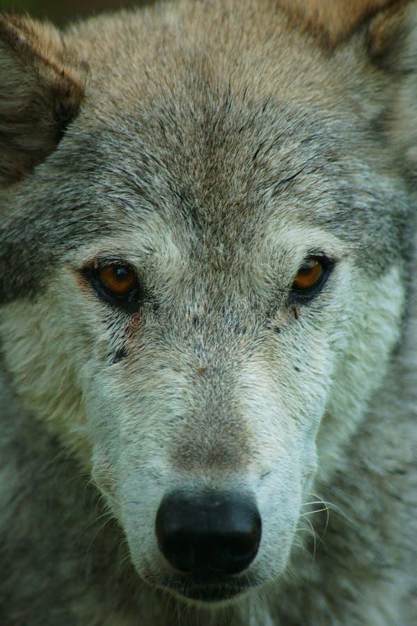 Download Retrato de un lobo foto de archivo. Imagen de rocoso, animales - 1284616