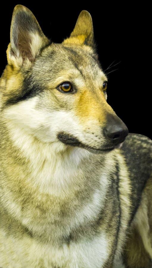 Retrato de un lobo retrato de un lobo en un fondo negro fotos de archivo libres de regalías