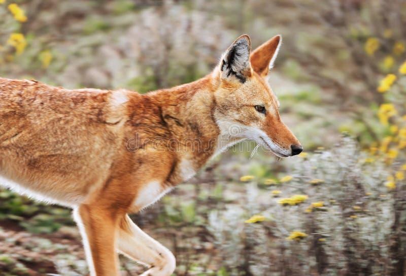 Retrato de un lobo etíope raro y en peligro fotografía de archivo