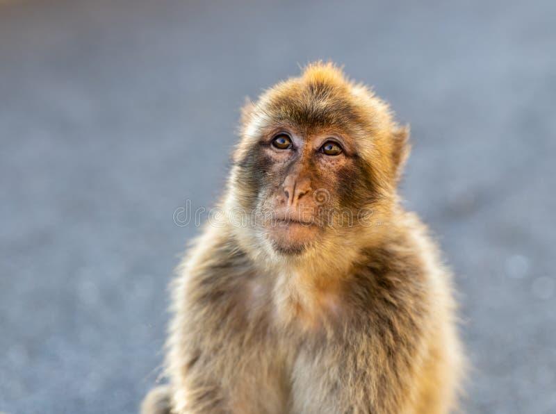 Retrato de un Macaque de Barbary imagen de archivo