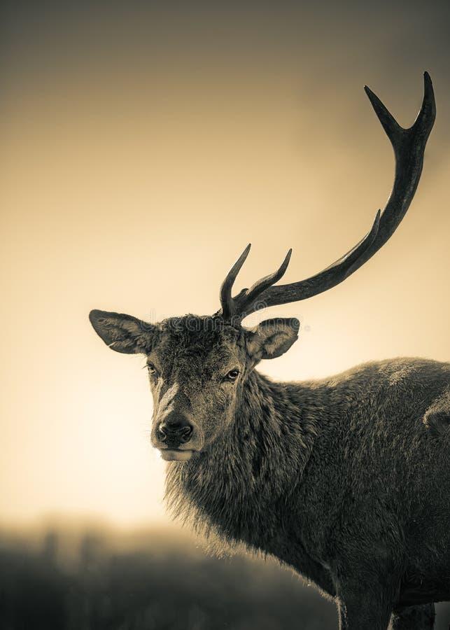 Retrato de un macho de los ciervos comunes de la asta fotografía de archivo libre de regalías