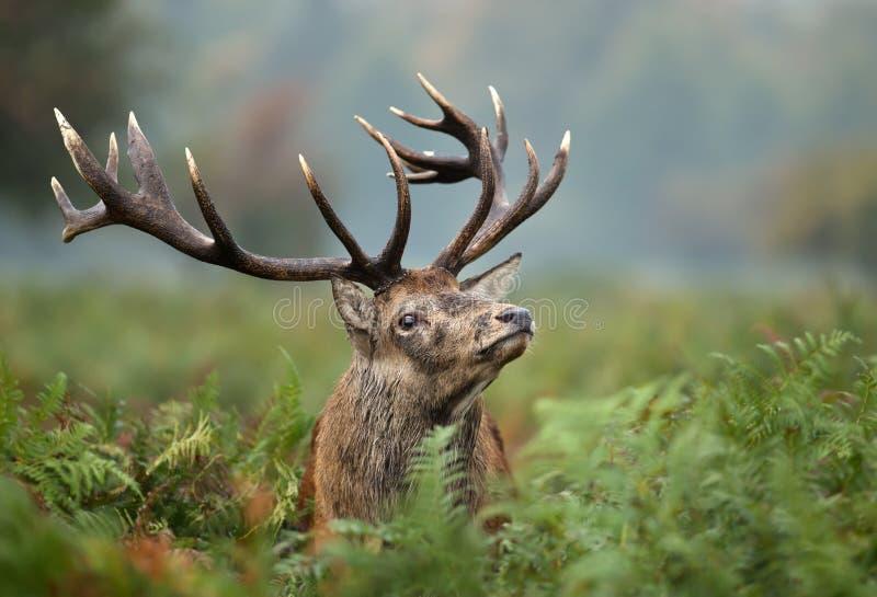 Retrato de un macho de los ciervos comunes fotos de archivo