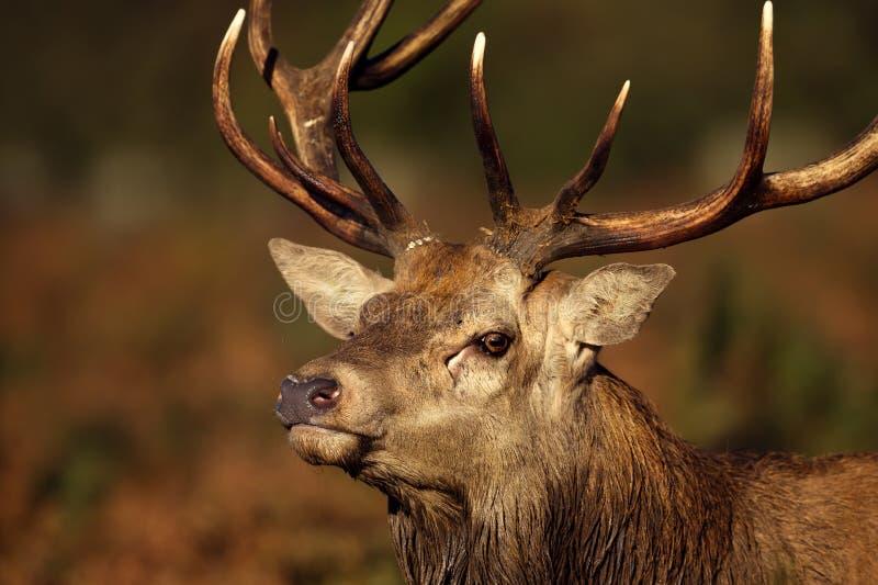 Retrato de un macho de los ciervos comunes durante la rodera imagenes de archivo
