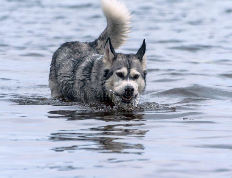 Retrato de un malamute de Alaska de la raza adulta del perro en agua en el lago imagen de archivo libre de regalías