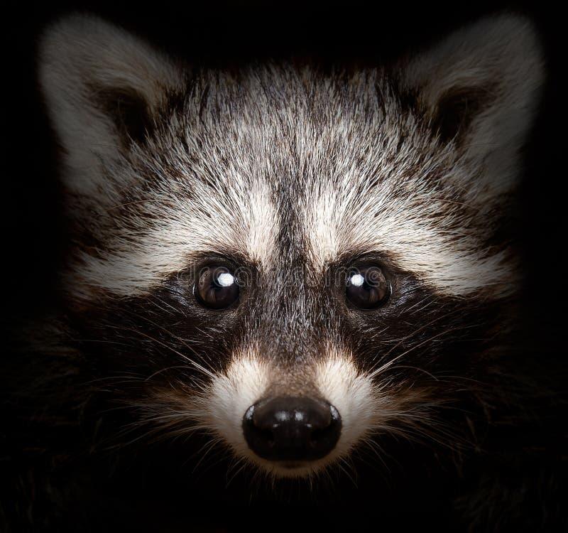 Retrato de un mapache astuto fotos de archivo libres de regalías