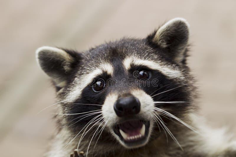 Retrato de un mapache curioso fotos de archivo libres de regalías