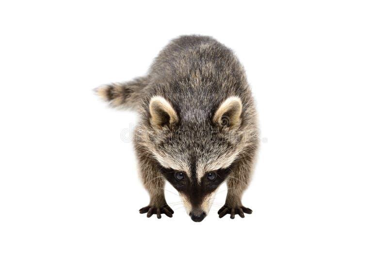 Retrato de un mapache curioso el oler fotos de archivo libres de regalías