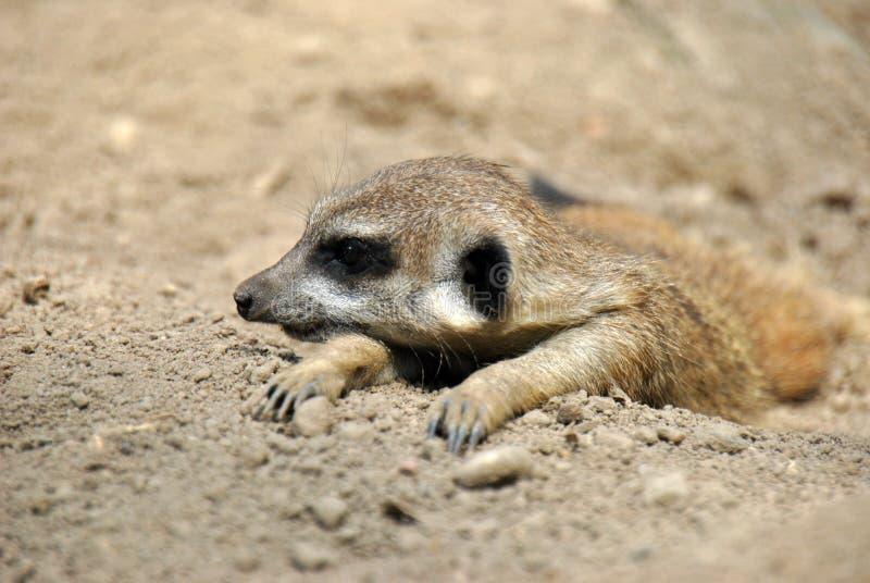 Retrato de un meerkat que se relaja en el sol fotos de archivo libres de regalías