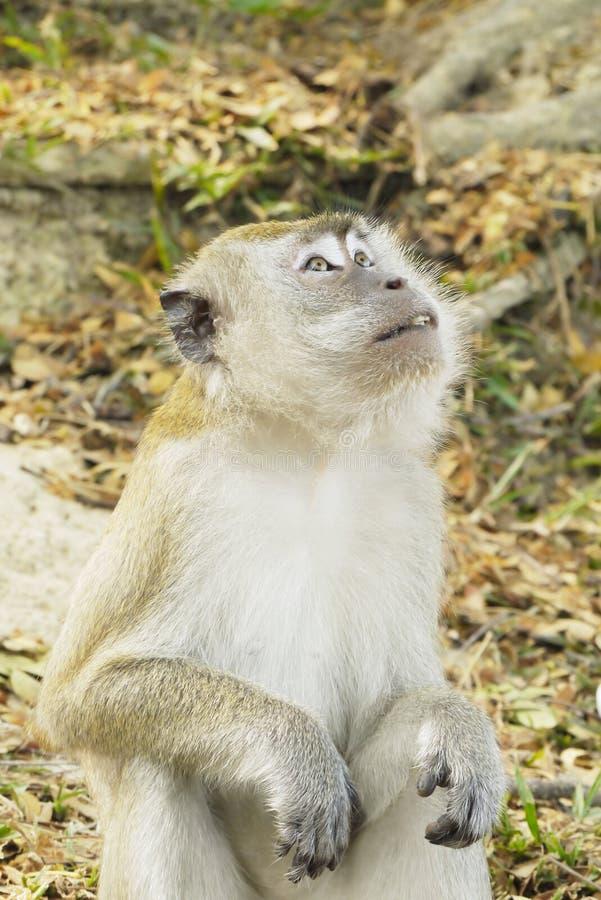 Retrato de un mono fotos de archivo libres de regalías