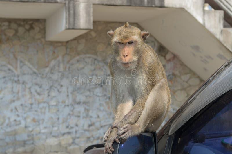 Download Retrato De Un Mono En El Coche Foto de archivo - Imagen de endangered, animales: 64203782