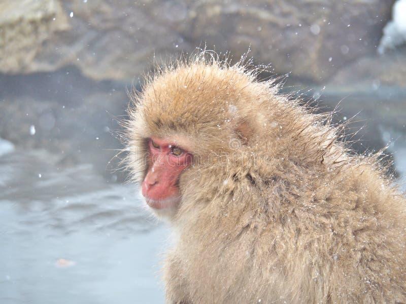 Retrato de un mono japonés de la nieve del macaque en aguas termales imagen de archivo