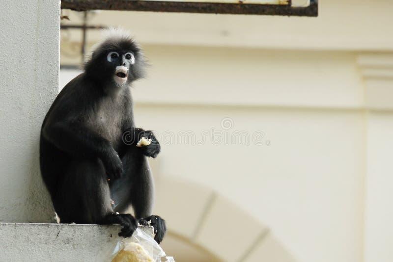 Retrato de un mono oscuro de la hoja fotografía de archivo