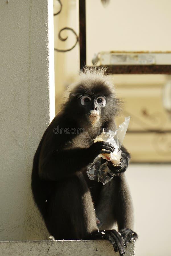 Retrato de un mono oscuro de la hoja foto de archivo