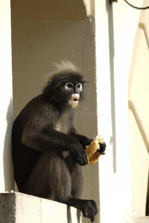 Retrato de un mono oscuro de la hoja imagen de archivo