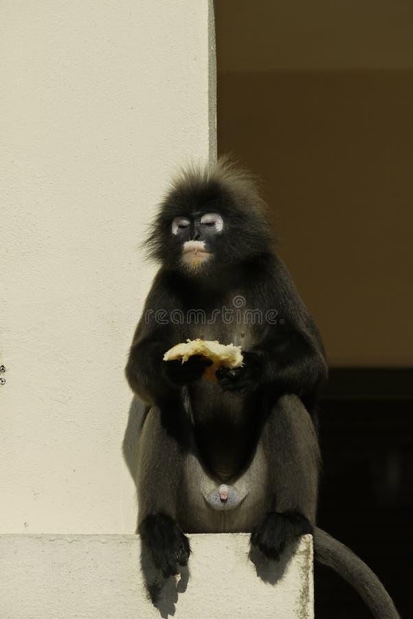 Retrato de un mono oscuro de la hoja fotografía de archivo libre de regalías