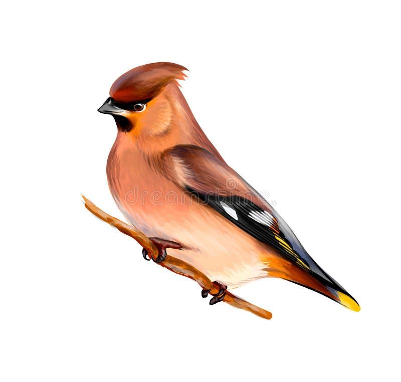 Retrato de un pájaro del Waxwing que se sienta en una rama en el fondo blanco, bosquejo exhausto de la mano ilustración del vector