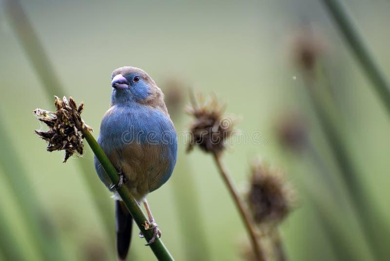 Retrato de un pájaro hermoso, africano, pequeño del color inusual que se sienta en una rama imagen de archivo