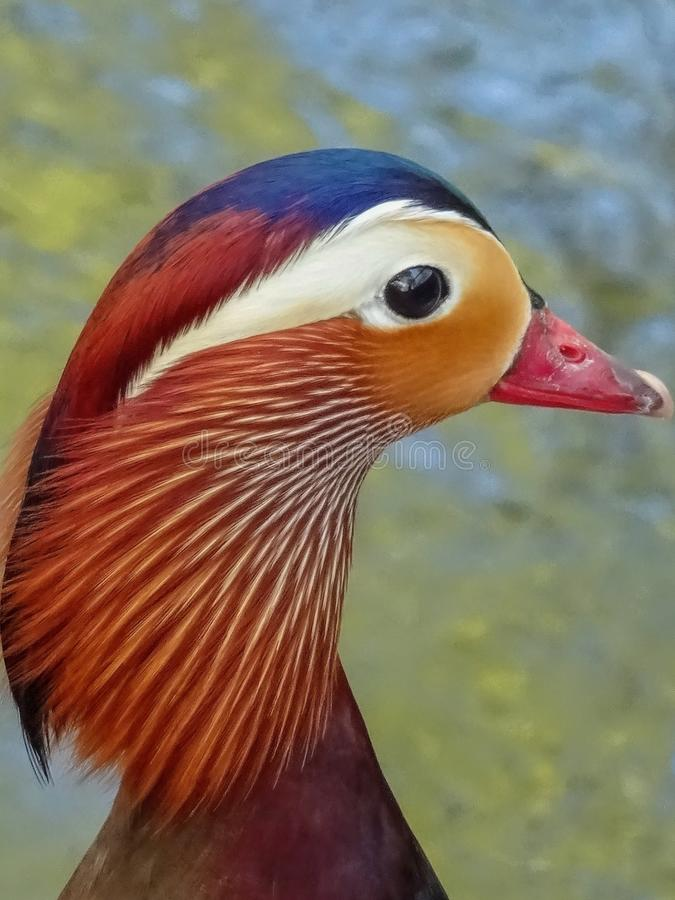 Retrato de un pato de mandar?n fotografía de archivo