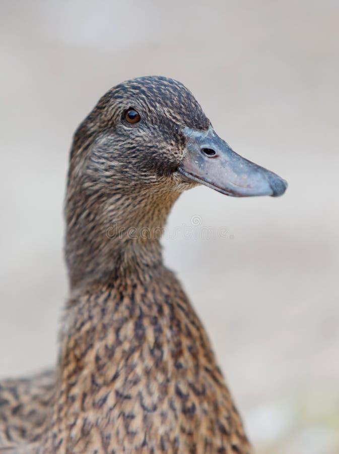 Retrato de un pato marrón foto de archivo