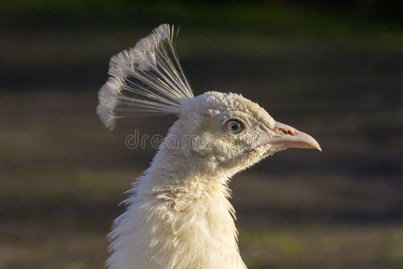 Retrato de un pavo real blanco que coge el sol en sus plumas foto de archivo