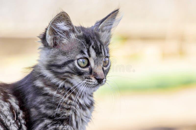 Retrato de un pequeño gatito rayado gris que mira cuidadosamente ahea imágenes de archivo libres de regalías
