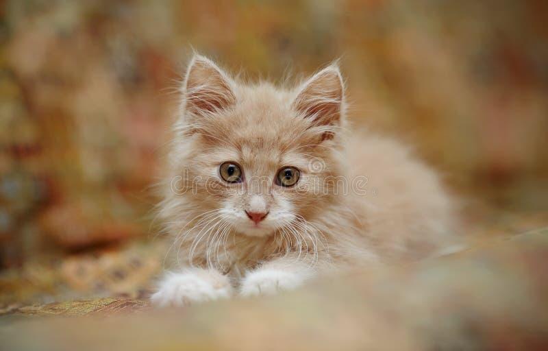 Retrato de un pequeño gatito rojo mullido foto de archivo libre de regalías