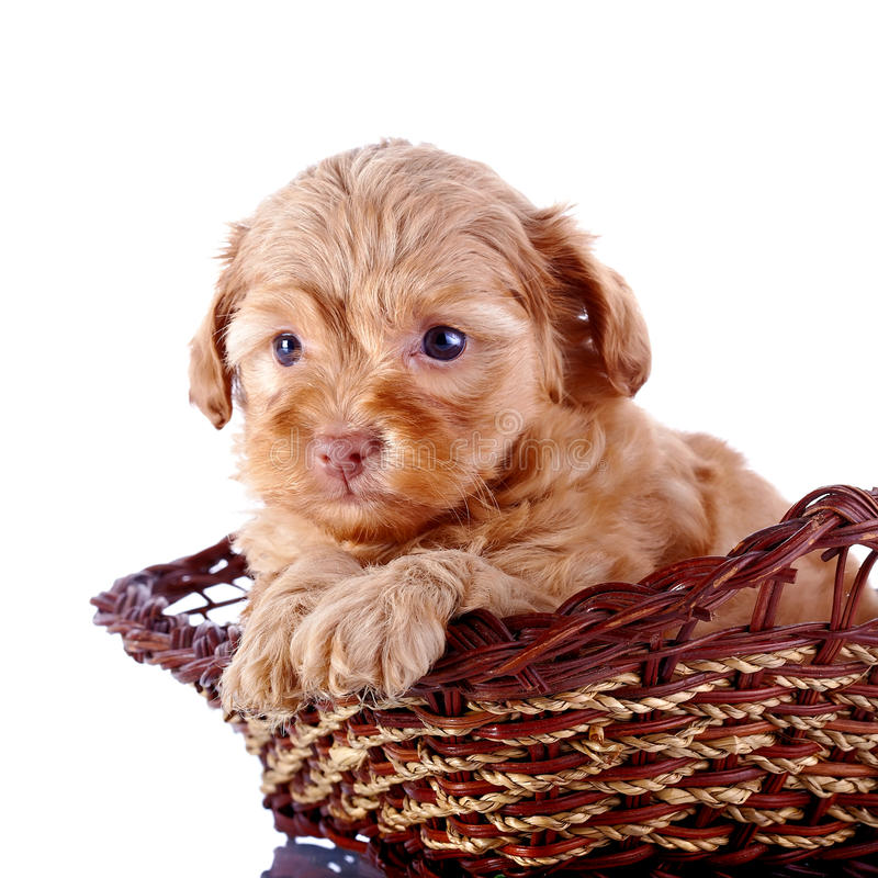 Retrato de un pequeño perrito de un perrito decorativo en una cesta wattled. fotografía de archivo